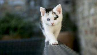 Animals cats heterochromia kittens wallpaper