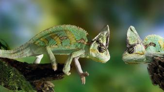Animals chameleon fight lizards two Wallpaper