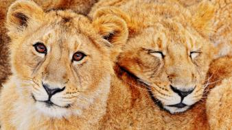 Animals feline lions predators wild wallpaper