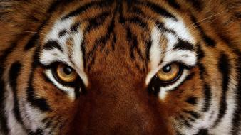 Animals feline tigers wild wildlife wallpaper