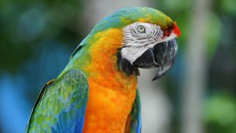 Blue-and-yellow macaws animals birds parrots wallpaper