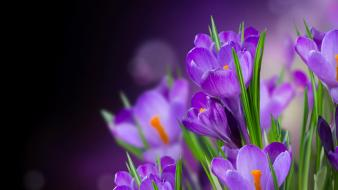 Bokeh crocus flowers purple wallpaper
