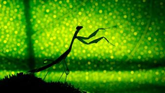 Bokeh green insects leaves mantis wallpaper