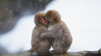 Japanese macaque affection animals baby monkeys wallpaper