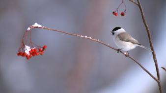 Longtailed tit berries birds nature Wallpaper