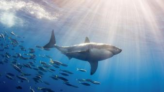 Mexico fish great white shark wallpaper