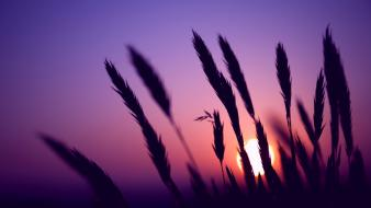 Sun silhouettes violet wheat wallpaper