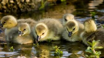 Animals chicks children goslings water wallpaper