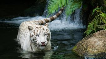 Animals tigers water white tiger wallpaper