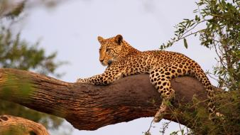 Botswana animals branches leopards wallpaper