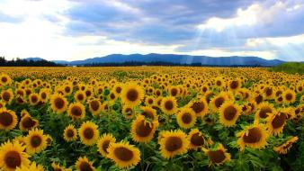 Fields flowers landscapes sunflowers yellow wallpaper
