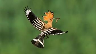 Hoopoe poland birds flight madagascar wallpaper