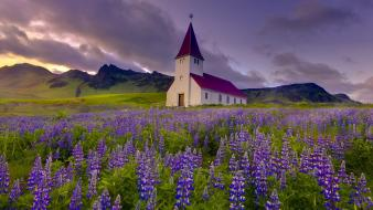 Iceland lupine chapel purple flowers wallpaper