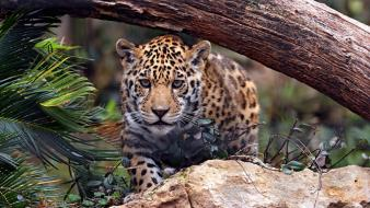 Jaguar leopards wallpaper