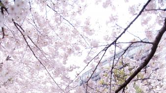 Japan sakura sakurazaki setsuna cherry blossoms wallpaper