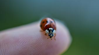 Nikon ladybirds macro nature wallpaper