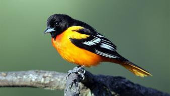 Orioles birds wallpaper