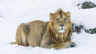 Animals big cats lions snow winter wallpaper