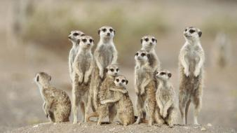 Animals meerkats suricate wallpaper