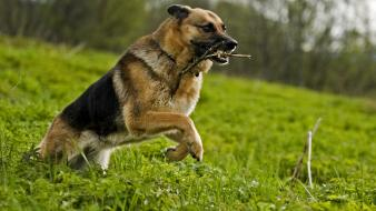 German shepherd animals dogs landscapes wallpaper
