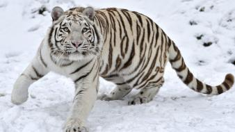 Predator snow tigers winter wallpaper