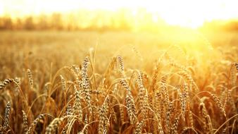 Sun macro wheat wallpaper