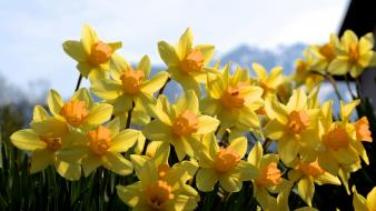 Daffodils flowers nature wallpaper