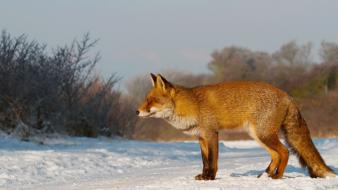Nature winter snow animals foxes wallpaper