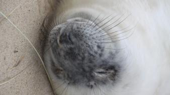 Seals baby animals mammals furry wallpaper