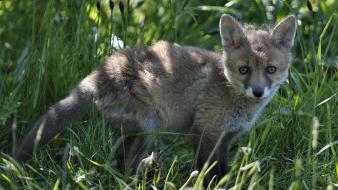 Animals baby foxes grass wallpaper