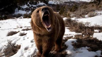 Animals bears grizzly nature snow wallpaper
