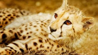 Animals big cats gepard wallpaper
