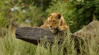 Animals big cats lions nature wallpaper