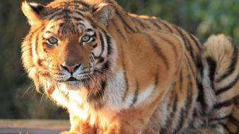 Animals big cats tigers wallpaper