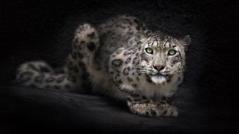 Animals black background feline snow leopards Wallpaper