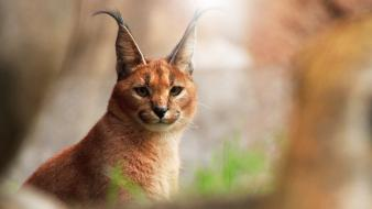 Animals caracal nature wallpaper
