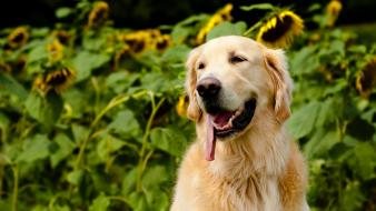 Animals dogs golden retriever nature sunflowers wallpaper