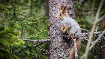 Animals forests nature squirrels trees wallpaper