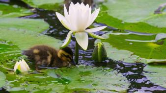 Baby birds duckling ducks lily pads Wallpaper