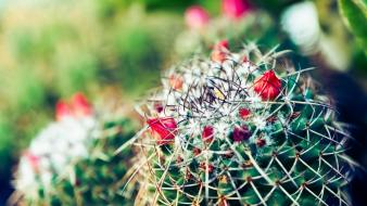 Cactus flowers depth of field plants wallpaper