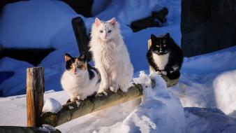 Cats pets snow winter wallpaper