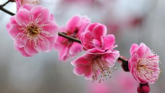Cherry blossoms flowers nature pink wallpaper