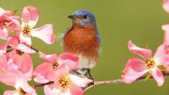 Dogwood animals birds bluebirds pink flowers wallpaper