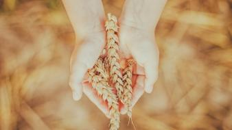 Hands nature wheat wallpaper
