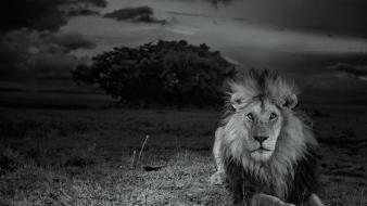 National geographic serengeti lions monochrome nature Wallpaper