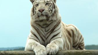 Tigers white tiger wallpaper