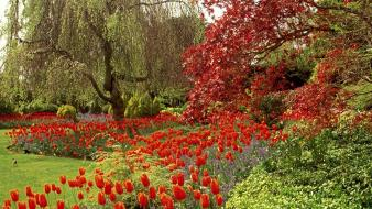 Vancouver parks red flowers tulips wallpaper