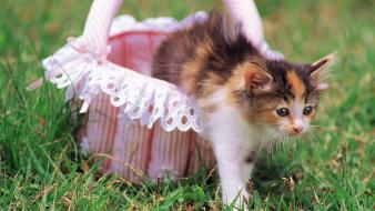 Animals baby baskets cats kittens wallpaper