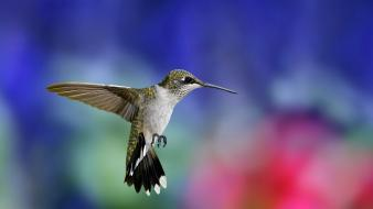 Animals birds blurred background hummingbirds nature wallpaper