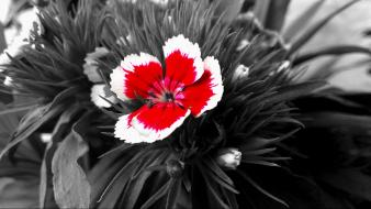 Black and white carnations flowers nature red wallpaper